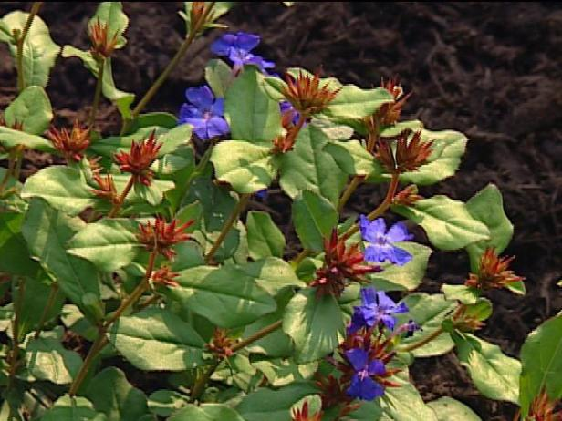 leadwort or plumbago has brilliant blue flowers