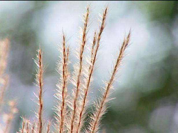 flame grass is an upright ornamental grass