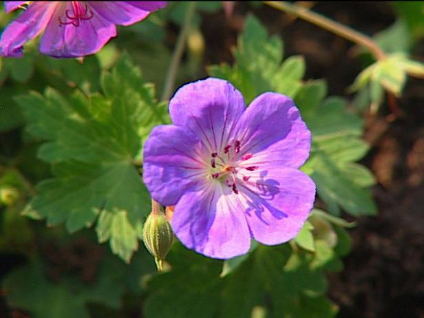 cranesbill geranium has blue cup like flowers