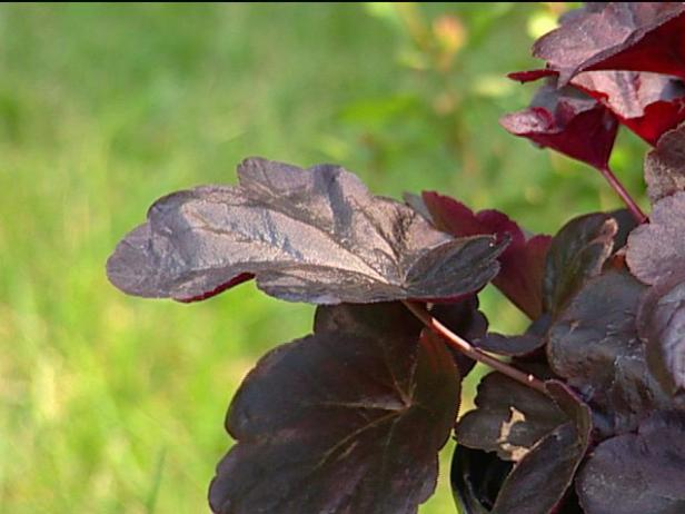 obsidian coral bells has dark maroon shiny leaves