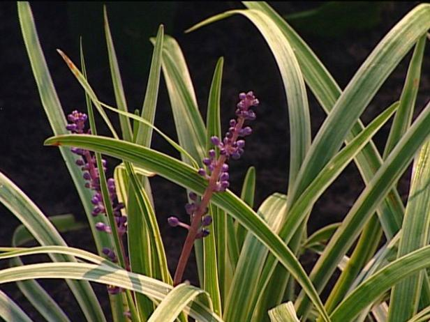 pee dee gold liriope has chartreuse grass foliage