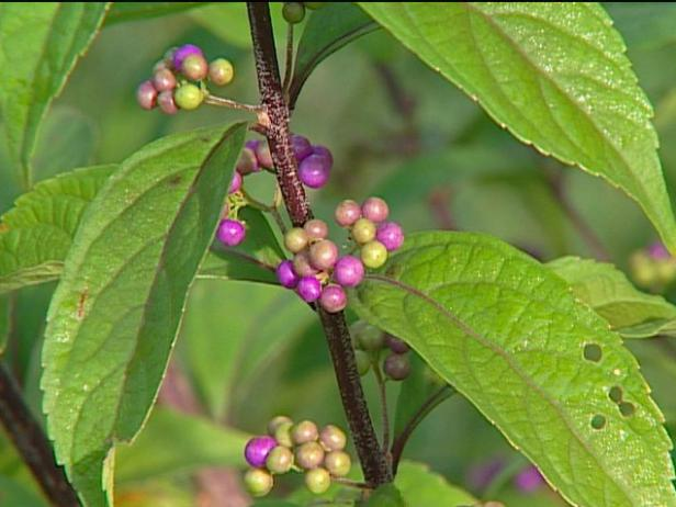 early amethyst beautyberry has bright blue berries
