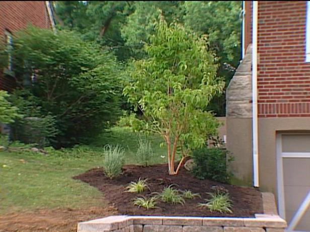 seven sons tree planted as part of landscaping