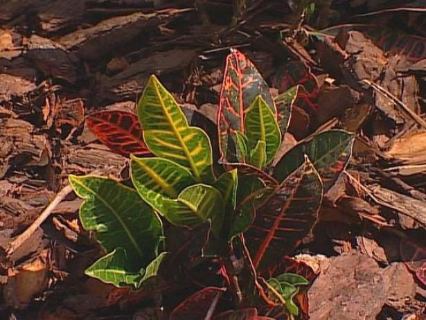 croton is a shrub with colorful foliage