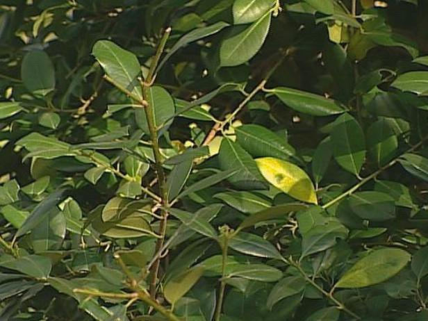 east palatka holly has upright pyramidal shape