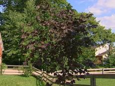 crimson king norway maple cultivar can be invasive