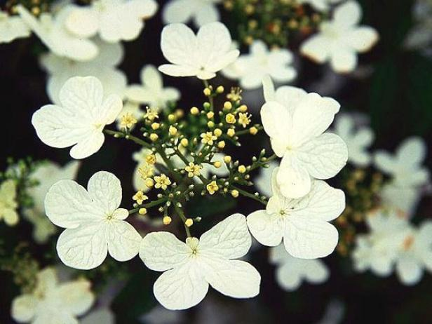 summer snowflake doublefile viburnum has lace cap