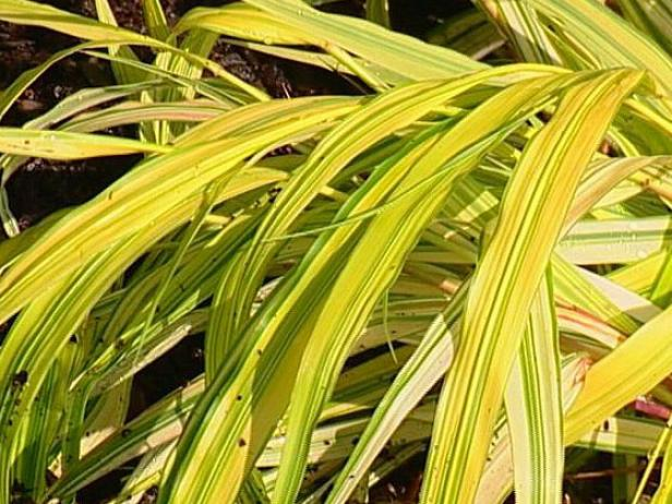 golden japanese forest grass is shade tolerant