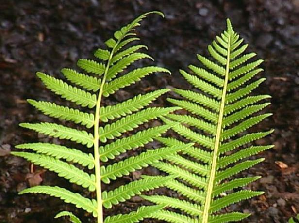 ostrich fern reaches upwards of four feet