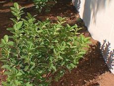 rainbow pillar serviceberry is shrubby tree