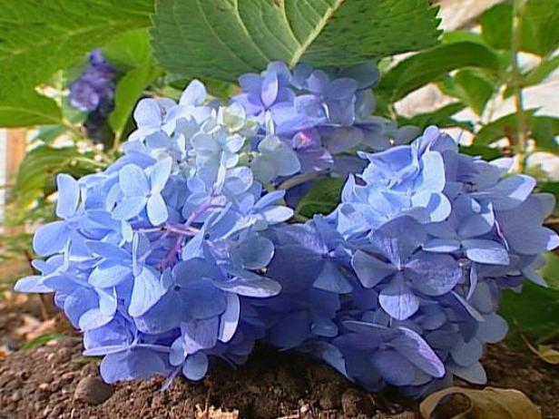 endless summer hydrangea blooms in pink and blue