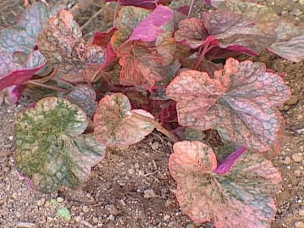 Mardi Gras Coral Bells has variegated leaves
