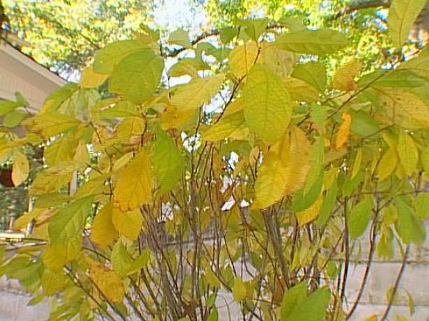 spicebush has bright green yellow leaves