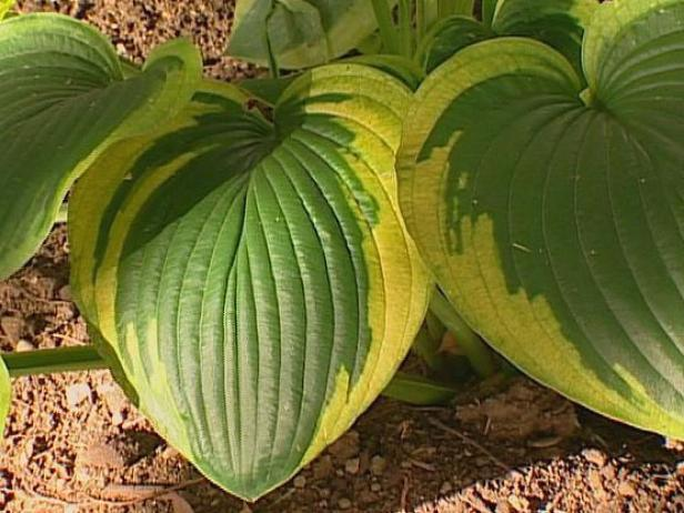 frances williams hosta is grown for its foliage