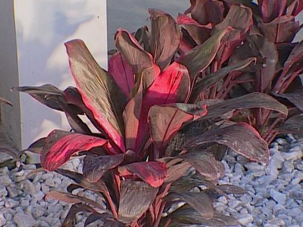 red sister or ti plant known for fragrant flowers