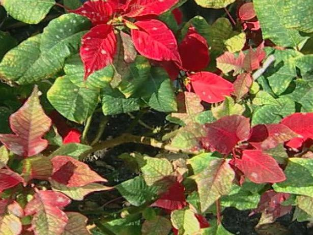 Poinsettia are holiday favorites but poisonous