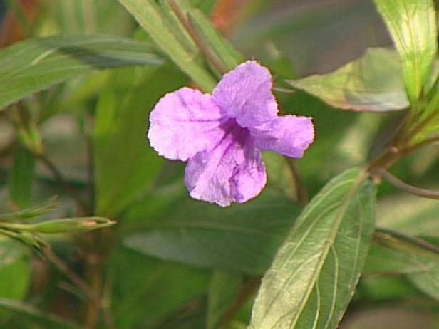 mexican petunia can be invasive in some areas
