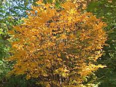 american yellowwood is a low branch deciduous tree