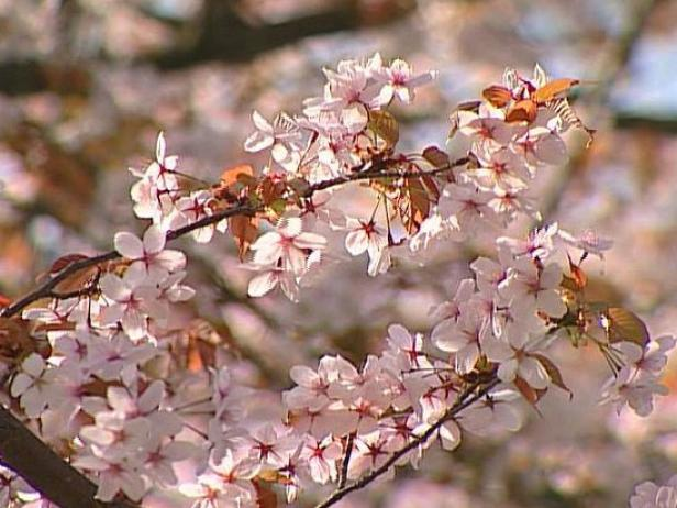 daybreak yoshino cherry has showy spring blooms