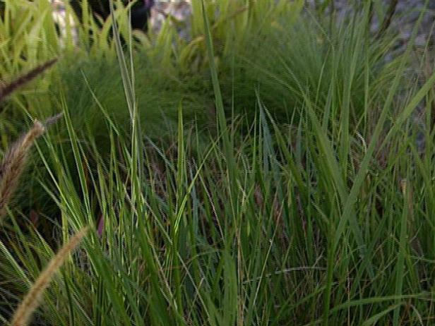 maiden grass is adaptable to both heat and drought