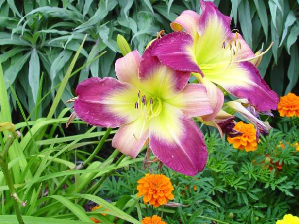 tetraploid daylilies have rich colorful flowers