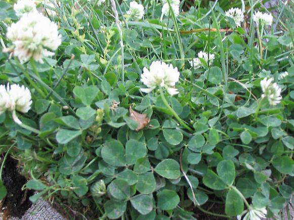 white clover needs to be removed not sprayed