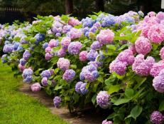 istock-6744831_flowering-shrub-hydrangea-blue-pink-flower_s4x3