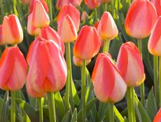 Bulb Flowers Planted in the Fall-Tulips