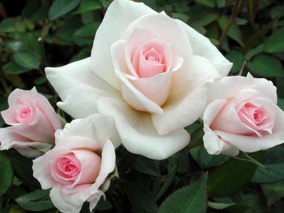 hgPG-1968126-rose_Amy_Grant1