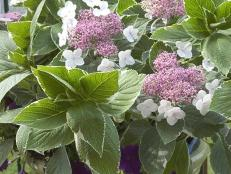 hgPG-2280111-var_hydrangea_lightoday