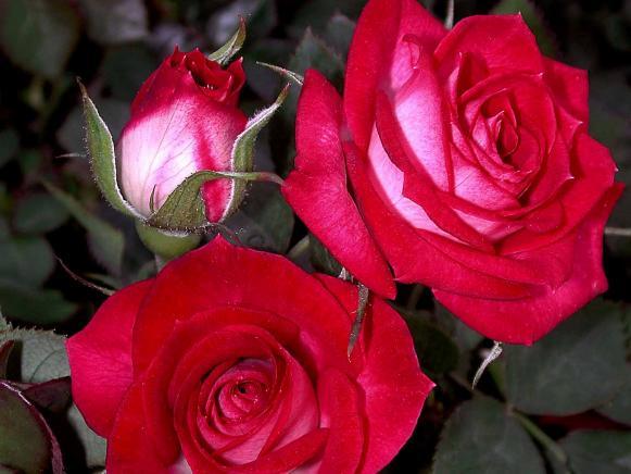hgPG-1968122-rose_Whoopi1