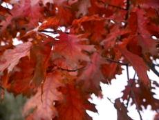 DIG112_fall-foliage-tree-colors_s4x3