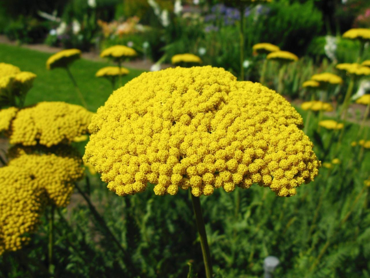 perennial flowers for sun  flower, Natural flower