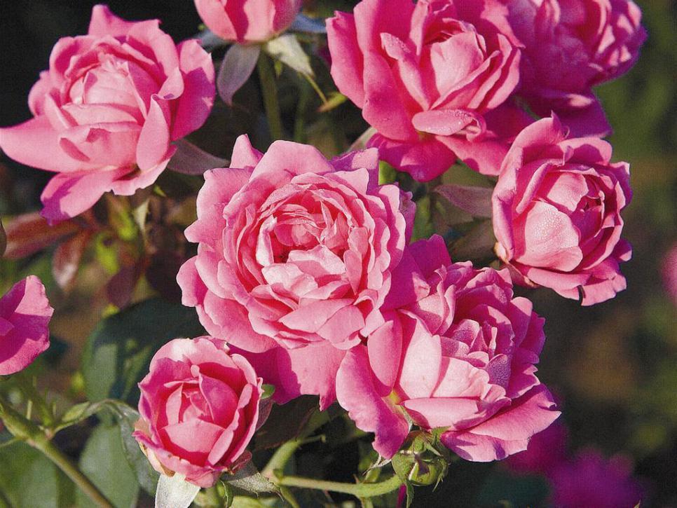 Easy Roses Diy