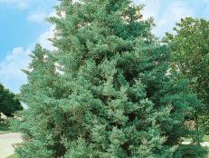 Blue Pyramid Cypress Tree