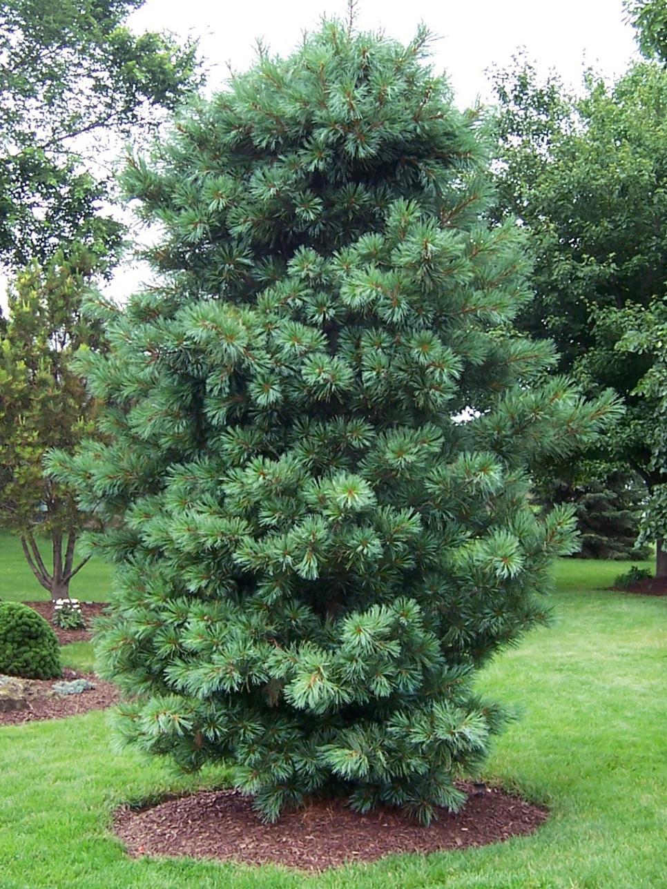 Living christmas trees diy for Mature pine trees