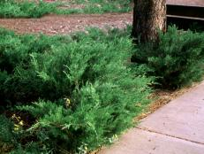 HGTVGardens_Sea-Green-Juniper_s4x3