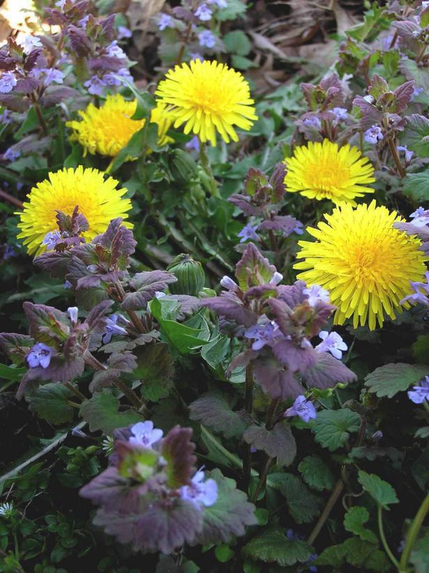 Common_Lawn_Weeds_Dandelion_Henbit_v