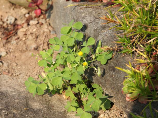 Yellow woodsorrel in rock wall