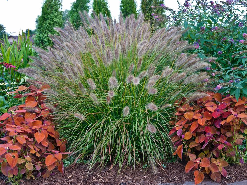 Types of ornamental grasses diy for Using grasses in garden design