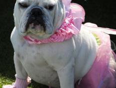 CI-Brian-Brainerd_bull-dog-in-ballerina-Halloween-costume_v