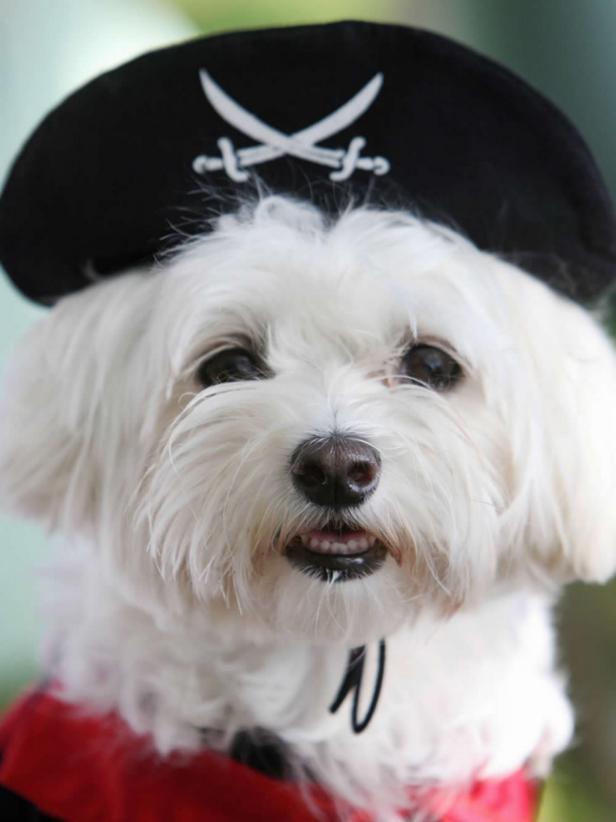 CI-Gabriel-Bouys_dog-in-pirate-Halloween-costume_v