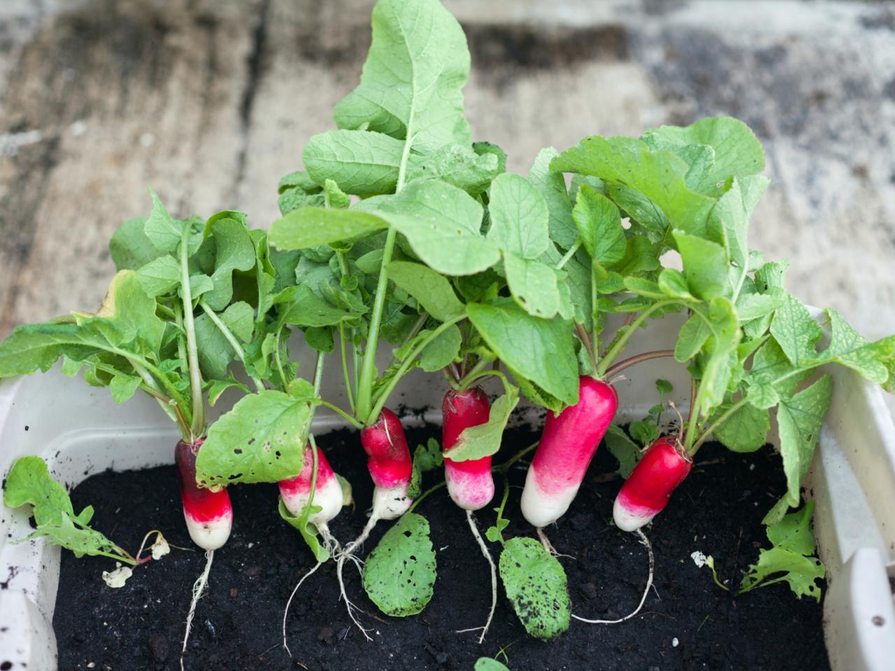 Growing radishes indoors diy Weird plants to grow indoors