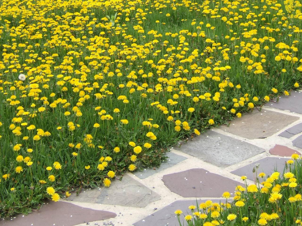 how to kill dandelions in lawn naturally