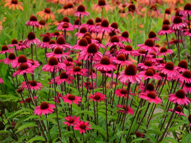 'Sensation Pink' Purple Coneflower