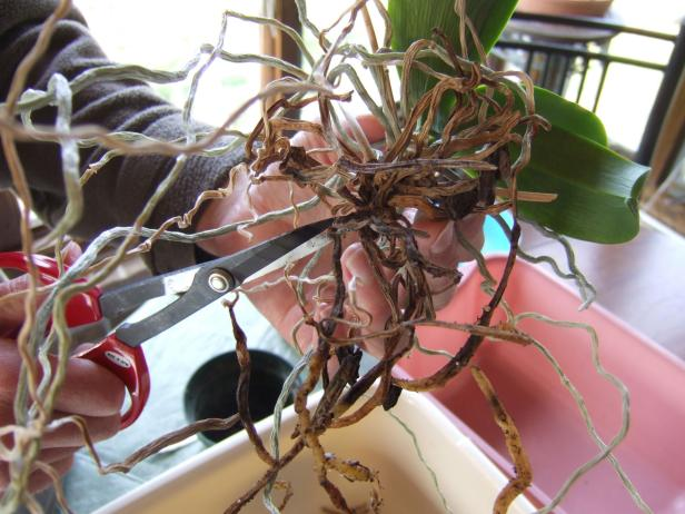 Clipping Orchid Roots