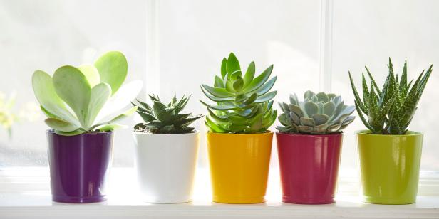 Grow Showy Succulents On Your Winter Windowsill Diy