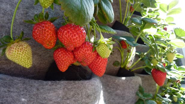 Strawberry Plant In Vertical Wall Planter