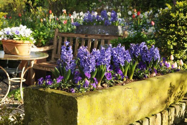Dutch Hyacinths With Pansy