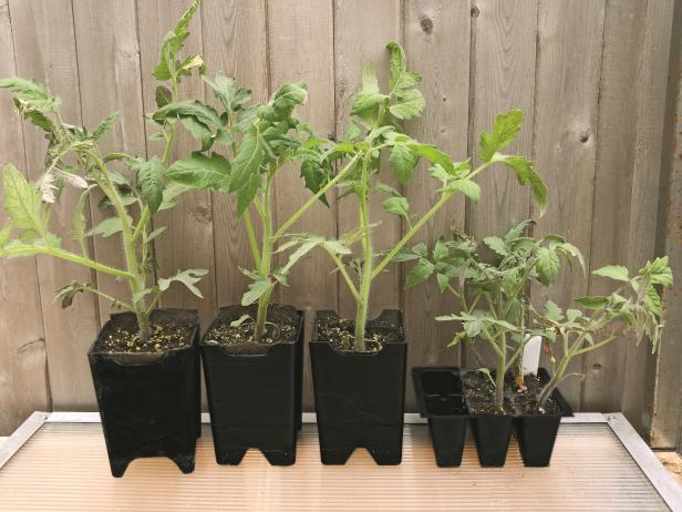 Give Tomato Seedlings Larger Pots